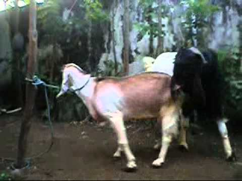 Etawa Goat mating