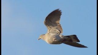 getlinkyoutube.com-The Shooting Show -- pigeon decoying in Essex