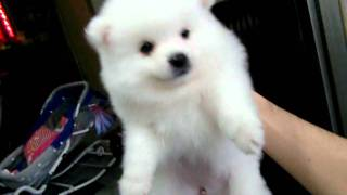 getlinkyoutube.com-影片-北極雪狐狸犬(公.母)45天.AVI