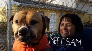 getlinkyoutube.com-Bulletproof Sam, Rescued From Dogfighting