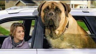 getlinkyoutube.com-Top 10 Perros Más Grandes Del Mundo