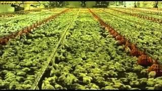 getlinkyoutube.com-¿Sabes de donde vienen los pollos que llegan a tu mesa?