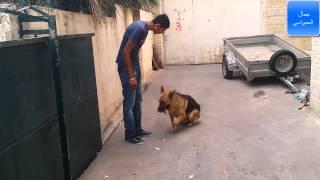 getlinkyoutube.com-تدريب الكلب اولا على الطاعه ثانيا على الهجوم مع جمال العمواسي