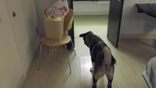 getlinkyoutube.com-Akita puppy (5 months) vs ferret (4 months)