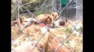 Lions rip apart zoo keeper