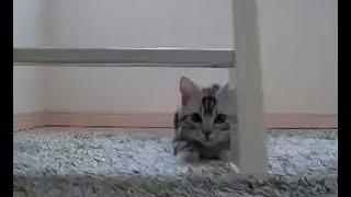 getlinkyoutube.com-【猫記録19】ハプニング はしごから落ちてブチギレもうダッシュ-Cat falling from ladder