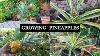 getlinkyoutube.com-The Joy Of Growing Pineapples - How To Grow Pineapple Plants In Containers