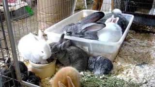 getlinkyoutube.com-3-Week Old Baby Flemish Giant Rabbits!