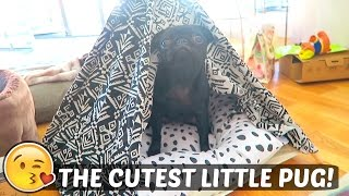 getlinkyoutube.com-THE CUTEST LITTLE PUG!