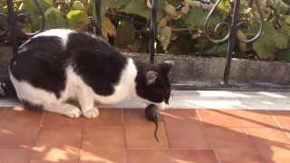getlinkyoutube.com-O meu gato a comer um rato vivo. Arrepiante!