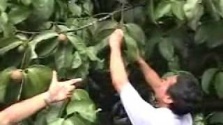 getlinkyoutube.com-Mangosteen Fruit