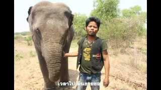 getlinkyoutube.com-คนเลี้ยงช้าง ... หรือ ... ช้างเลี้ยงคน ?