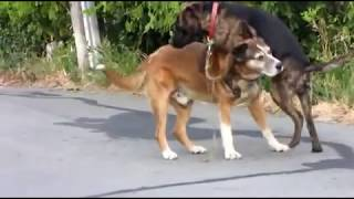 getlinkyoutube.com-Two gay dogs being more than friendly in public