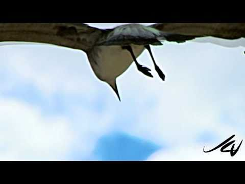 240fps slow motion birds flying