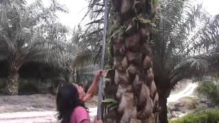 getlinkyoutube.com-Panen kelapa sawit di kalbar