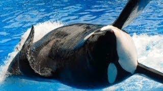 Zoologist explains benefits of orcas captivity