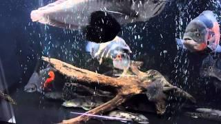 getlinkyoutube.com-熱帯魚 180センチ水槽 大型魚
