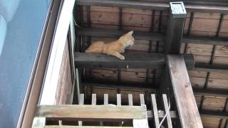 getlinkyoutube.com-fall down Cat  猫も屋根から落ちる