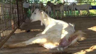 getlinkyoutube.com-Navaladi Goat Farm new