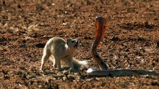 getlinkyoutube.com-Mongoose Vs. Cobra