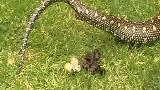 getlinkyoutube.com-python pooing