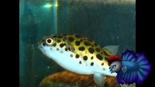getlinkyoutube.com-How To Care For The Green Spotted Puffer