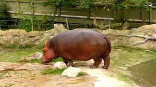 getlinkyoutube.com-Hippo gets explosive diarrhea.