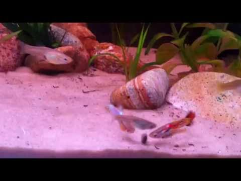 A mix of wild type Guppies and Endlers