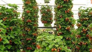 getlinkyoutube.com-Вертикальный способ выращивания клубники. Выращивания клубники.