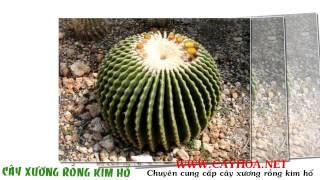 getlinkyoutube.com-cây xương rồng kim hổ  đẹp nhất