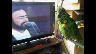 getlinkyoutube.com-loro canta pavarotti