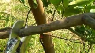 getlinkyoutube.com-เทคนิคเกษตรดอทคอม การตอนกิ่งมะนาว_การตอนกิ่งไม้ ด้วยคีมตอนกิ่งไม้