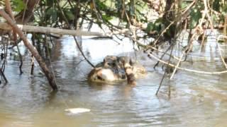 getlinkyoutube.com-BIG Crocodile eat Piranha by branch!!
