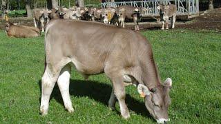 getlinkyoutube.com-تقييم عجول التسمين قبل بدء المشروع Beef Cattle Assessment