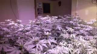 getlinkyoutube.com-LED vs HID Hydroponic medical cannabis grow - Day 8 of Flower