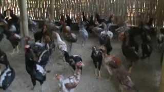 getlinkyoutube.com-Beternak  Ayam Kampung Super