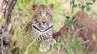getlinkyoutube.com-ULTIMATE Kruger National Park animals | Beautiful African wildlife,best latest sightings from safari