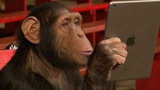 getlinkyoutube.com-Chimpanzees React To iPad Magic