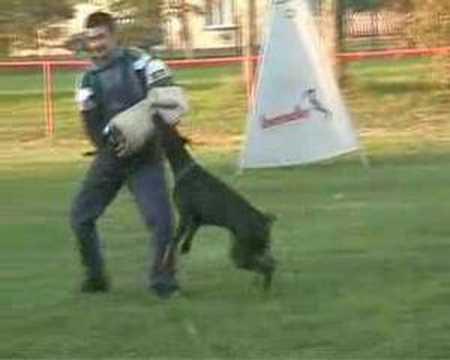 Doberman+attack+video