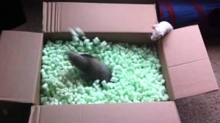 getlinkyoutube.com-Ferrets playing in packing peanuts