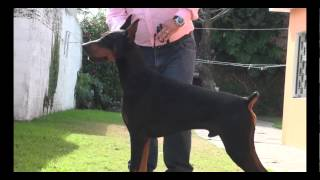 getlinkyoutube.com-La raza de hoy: Doberman