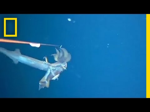 Watch Squid Snatch Squid in Surprise Attack | National Geographic