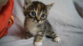 getlinkyoutube.com-Cute Baby Kitten meows because Mama Cat is not there