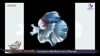 getlinkyoutube.com-แชร์ว่อน!!! ปลากัดไทยในไอโฟน 6 เอส