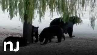 Bear family plays in N.J. front yard
