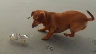 getlinkyoutube.com-Dachshund vs Crab Part Two - They Meet Again