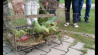 getlinkyoutube.com-Freeing Pakistani Red Neck Parrots
