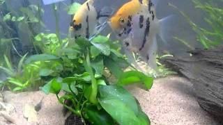 getlinkyoutube.com-エンゼルフィッシュの産卵(Angelfish spawning scene/Laying eggs)