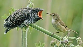 getlinkyoutube.com-الطائر اللئيم المخادع لن تصدق مدى لؤمه حتى ترى بعينك ✔