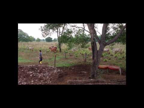 Ganado Gyr Puro - Hacienda San Luis de El Orejero - Nelson Molinares, El Molino - Guajira